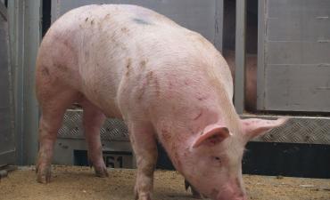 Elevage de porc